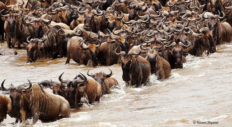 Great Migration Mara River