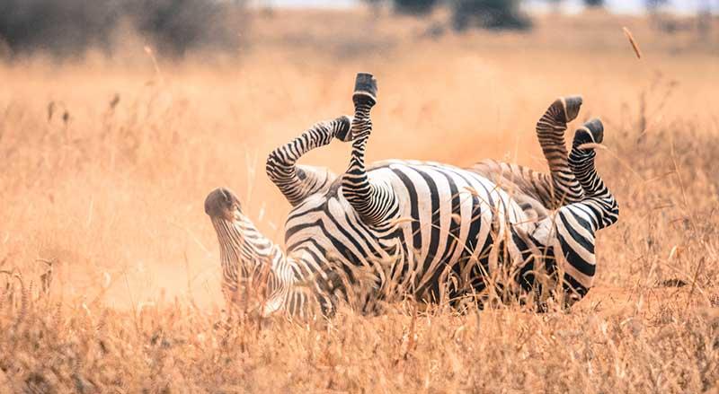 Zebra down on back in serengeti packing list safari Tanzania