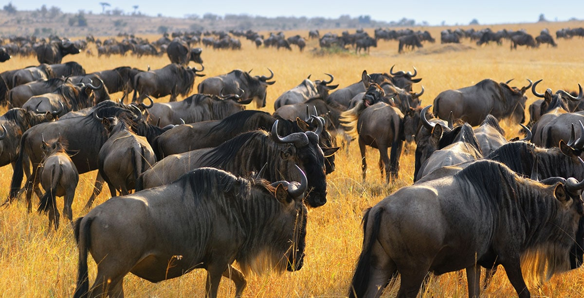 Wildbeest Migration Serengeti bucket list Tanzania