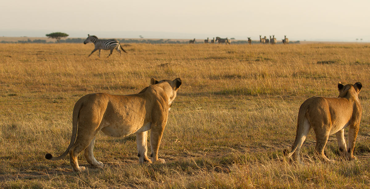 Two lioness looking at Zebra wildlife adventure and zanzibar safari