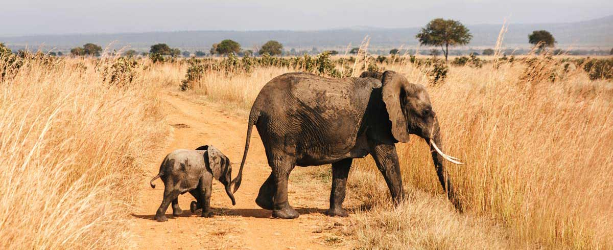 Baby elephant follows mother elephant Mikumi National Park Tanzania