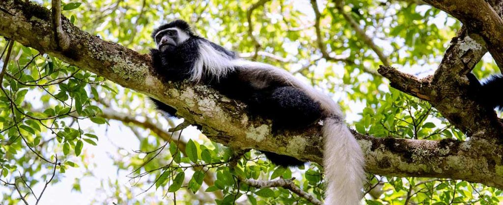 Black-and-white Colobus Monkey in tree Arusha National Park Tanzania