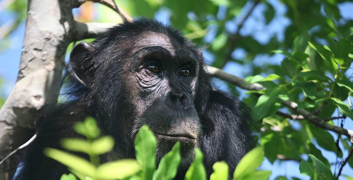 Chimpanzees Rubondo Island Lake Victoria Cultural Safari