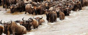 Great Migration river crossing Serengeti National Park Tanzania