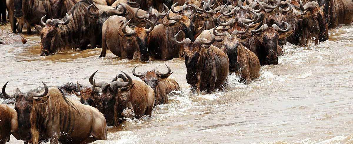Great Migration river crossing Serengeti National Park Tanzania