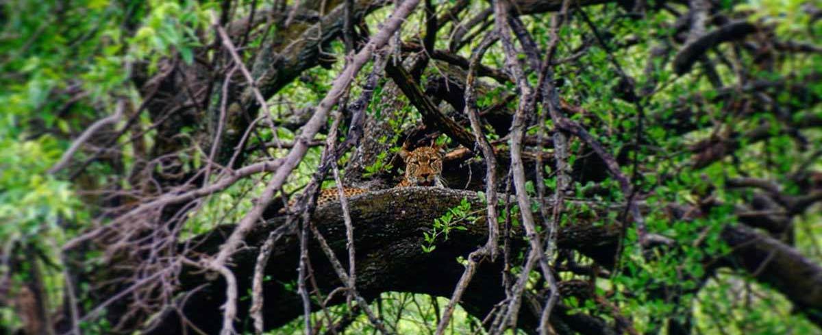 Leopard hide in tree Lake Manyara Tanzania