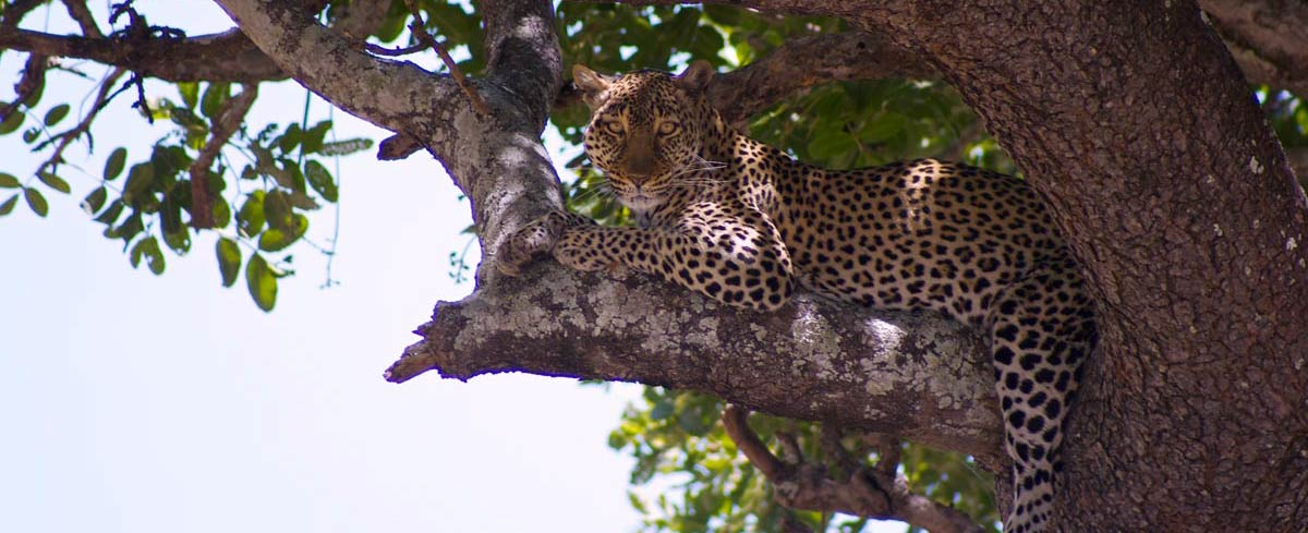 Leopard hides in tree looking at camera Katavi National Park Tanzania