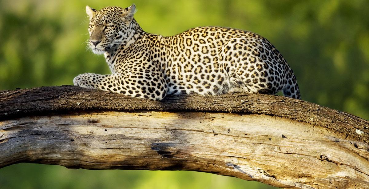 Leopard lies in tree Tanzania Big 5 Safari Zanzibar Tanzania