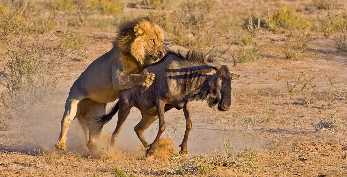 Lion attacks wildebeest from behind Great Migration beach holiday Tanzania