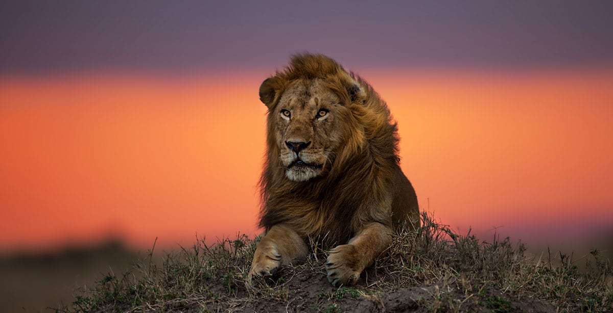 Male lion at sunset Tanzania Serengeti lions of the Serengeti safari