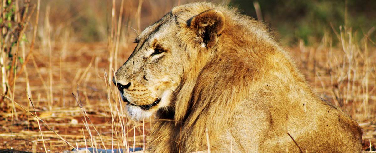 Male lion lying close up Ruaha National Park Tanzania