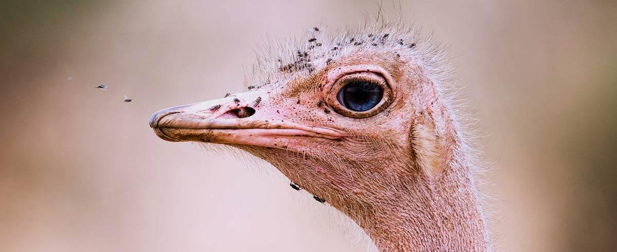 Ostrich close up head Tarangire National Park Tanzania