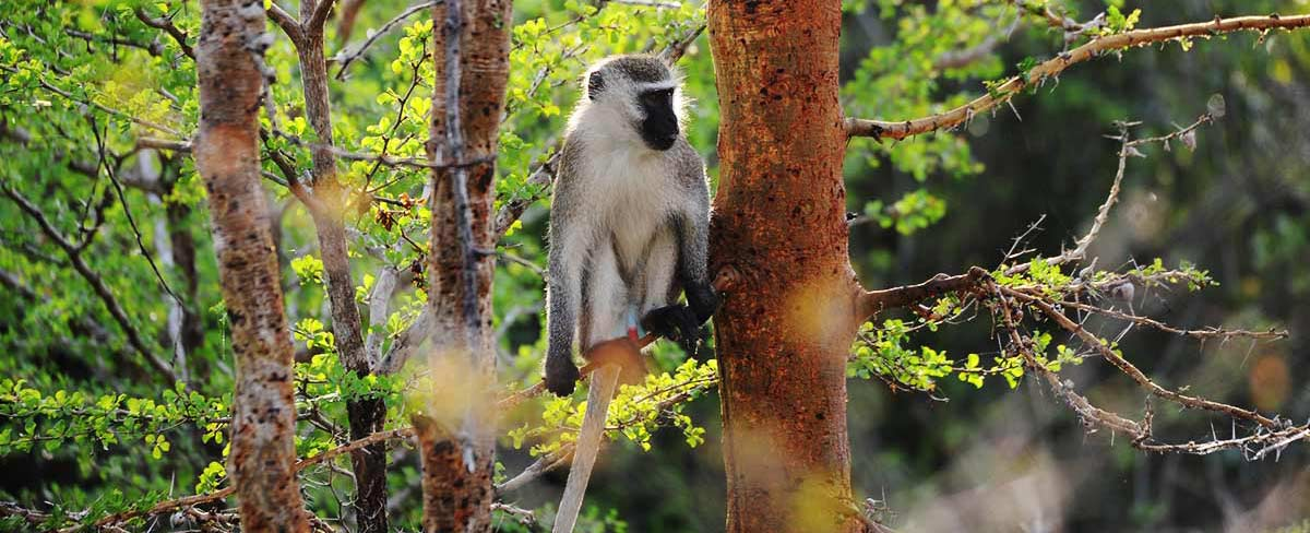 Vervet monkey in tree Saadani National Park Tanzania