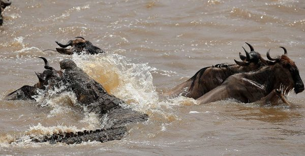 Wildebeest crossing Grumeti River Crocodiles Great Migration Serengeti Tanzania