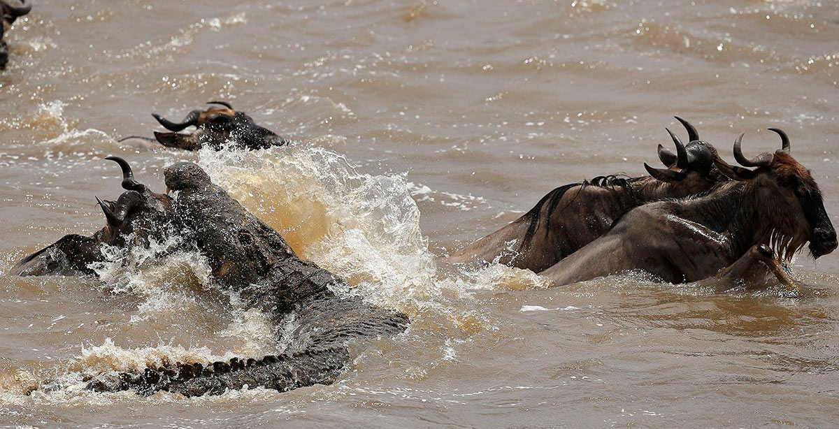 African Safari to Grumeti River Wildebeest Experiences