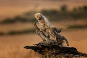 Customized safaris in tanzania cheetah cubs