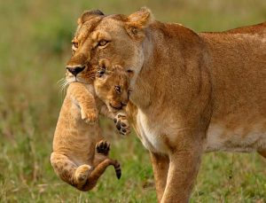 Customized safari in Tanzania cub and mother lioness