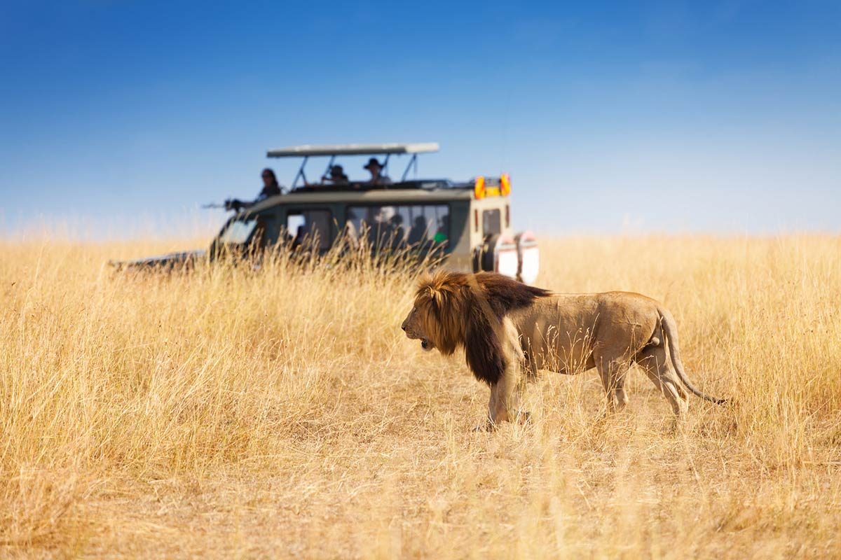 Tourists looking at the male lion during a safari in Africa