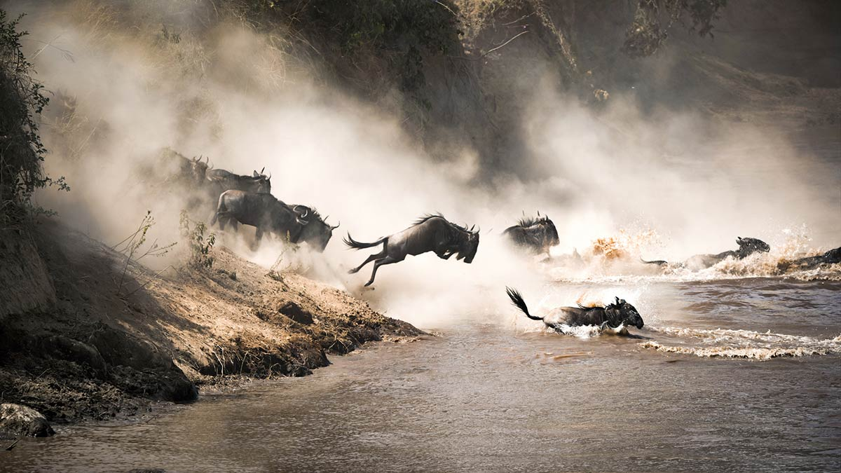 Wildebeest MigrationJumping on Mara River