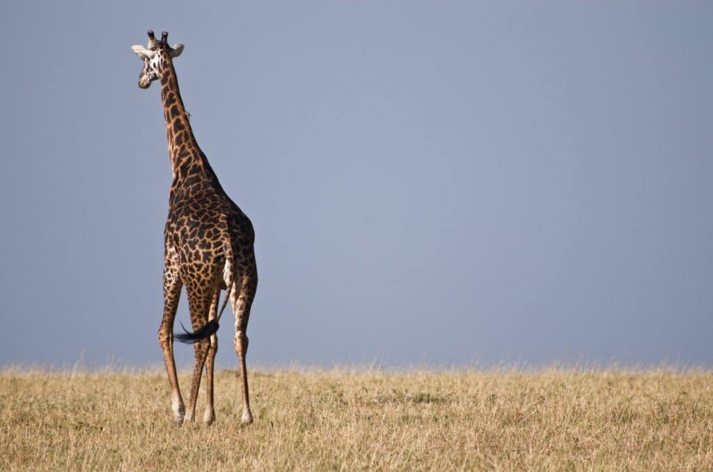 African Safari For Kids, African Giraffe