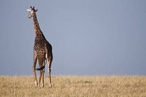 Safari For Kids, African Giraffe