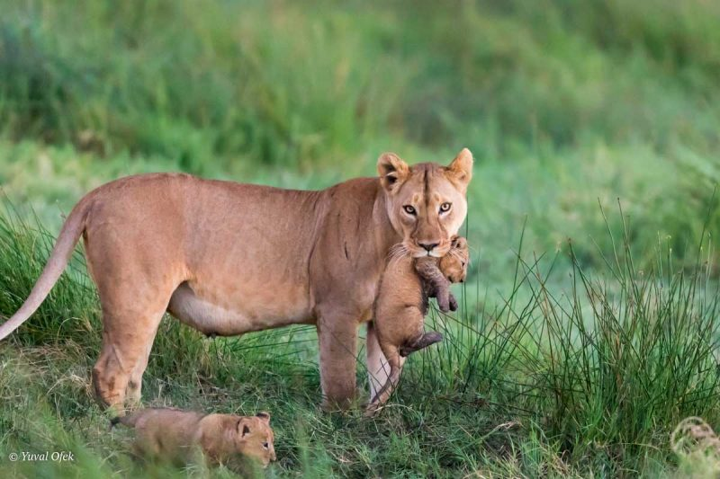 Safari Phography Trips Captured Lioness