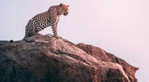 Africa Big five, Leopard