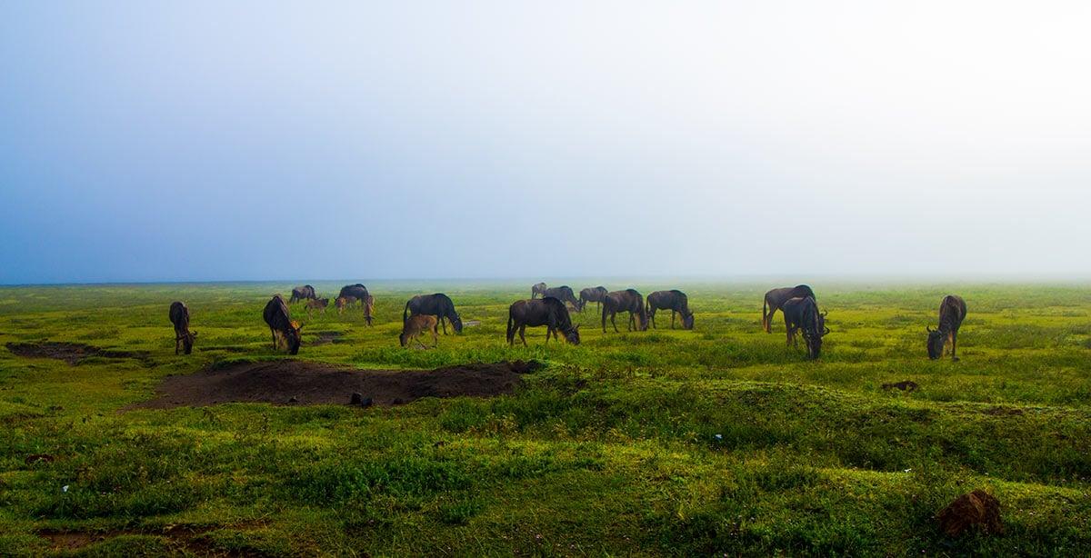 Wildebeest Eating grasses at Serengeti