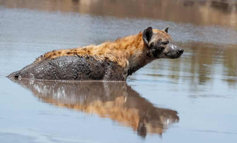 Hyena Animals in Serengeti