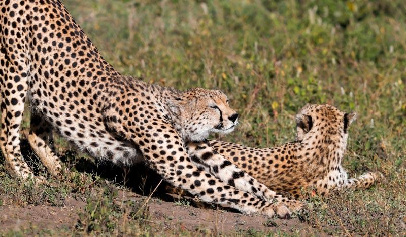 private or group tanzania safari, Cheetah at Ndutu