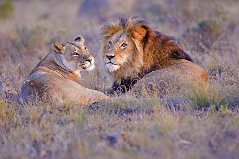 Lions in Your Travel in Tanzania