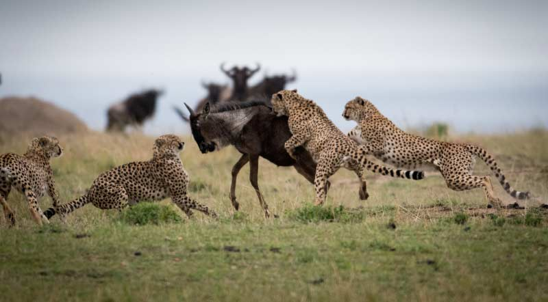 Predators of Masai Mara