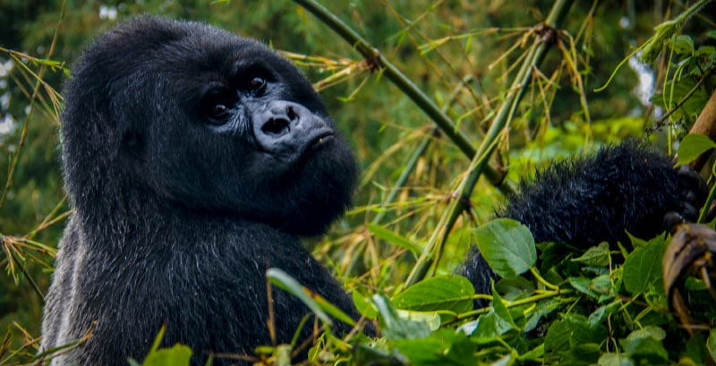 African Safari Gorilla and Big 5 Safari Experience