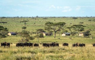 Wildlife Grazing Near Sametu Camp Serengeti