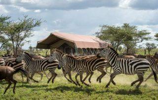 Zebra at Sametu Camp